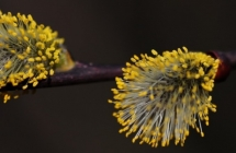 Salice fiori